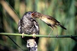 vogel des jahres 2001 kuckuck birdlife schweizsuisse