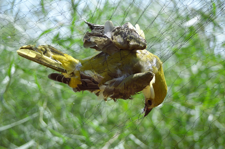 Wilderer stellen jedes Jahr rund um das Mittelmeer tausende von illegalen Netzen auf, um damit Zugvögel wie diesen Pirol zu fangen. © RSPB/BirdLifevon illegalen Netzen